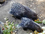 Allstate Animal Control photo porcupines eating